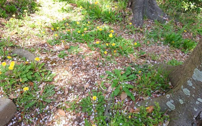 八幡山公園に咲いてるたんぽぽ